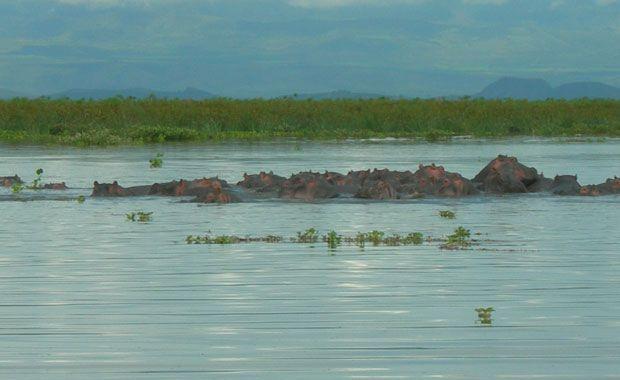 Hipopótamos en el lago Naivasha. Foto de: PALOMA GIL