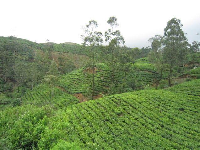 Campos de té en Nuwara Eliya | Foto: Almudena Alameda