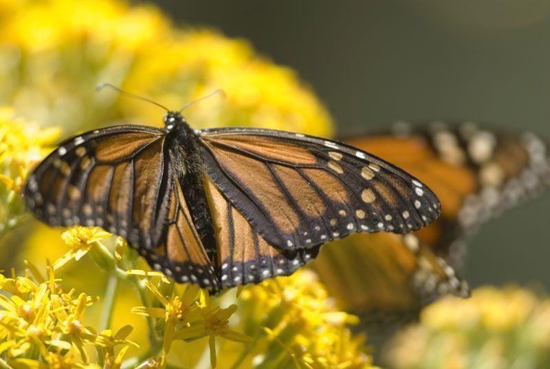 Mariposa Monarca en el estado de Michoacán | Foto: Turismo de México