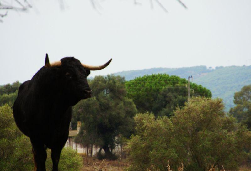 Toro bravo en Finca Jandilla, Jerez de la Frontera | Foto: Beatriz de Lucas Luengo para Meraki TV Travel