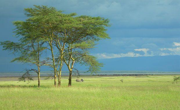 Típicas acacias keniatas. Foto de: PALOMA GIL