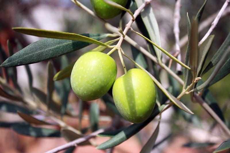Aceitunas (u olivas) listas para ser recolectadas y trasnformadas en aceite | Fuente: Nataliaaggiato en Pixabay