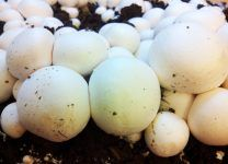 Fungitur 2016: la importancia del champiñón