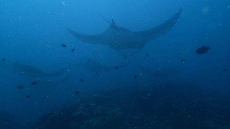 Mantas en Maldivas | Foto: Club de Buceo Narval