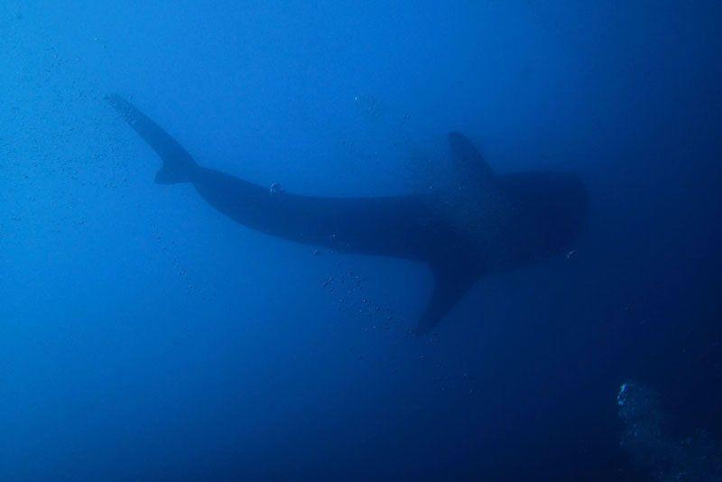Tiburón en Maldivas | Foto: Club de Buceo Narval