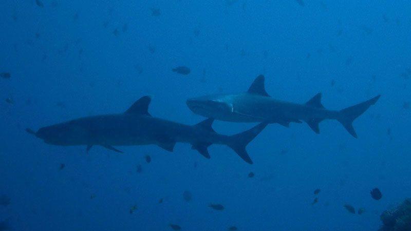 Tiburones en Maldivas | Foto: Club de Buceo Narval